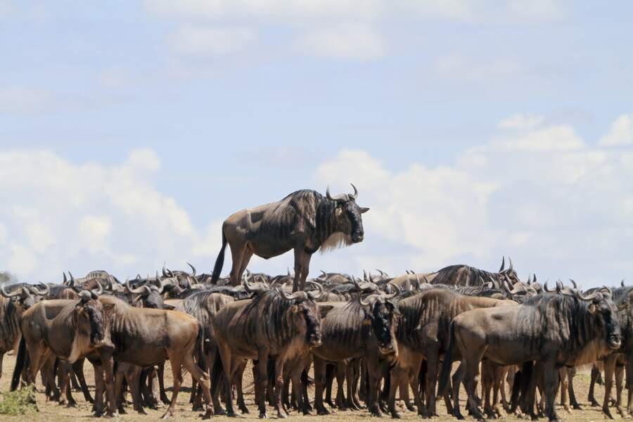 Au-dessus de la mêlée (gnou bleu, réserve du Masai Mara au Kenya)