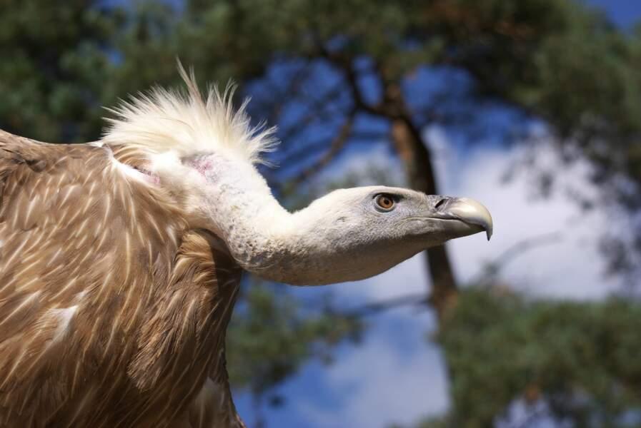 Le vautour fauve