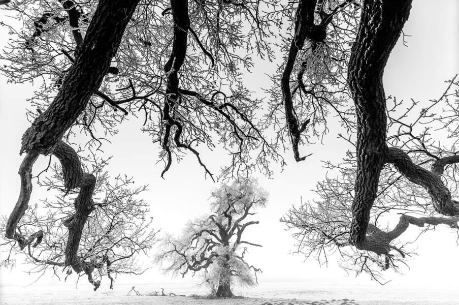 Chêne dans le brouillard / Hongrie