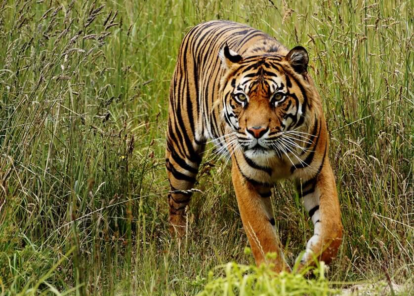 La Chine maintient l'interdiction du commerce d'os de tigre