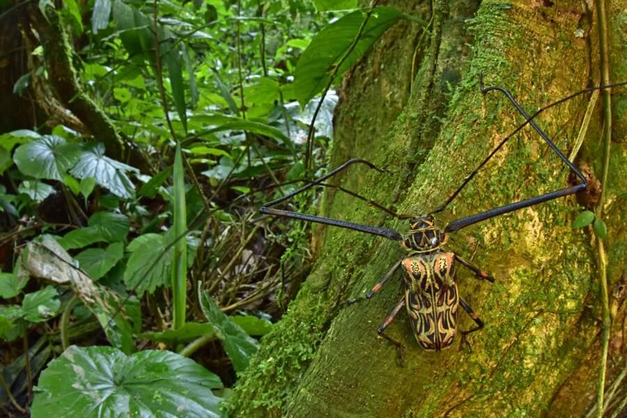 Un arlequin de Cayenne (Acrocinus longimanus)