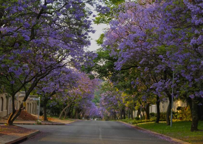 Les jacarandas de Pretoria, en Afrique du Sud