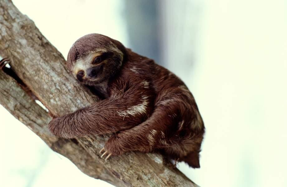 Le paresseux dort à peine plus que l'homme : de 9 à 10 heures par jour (contre 8 heures pour nous)