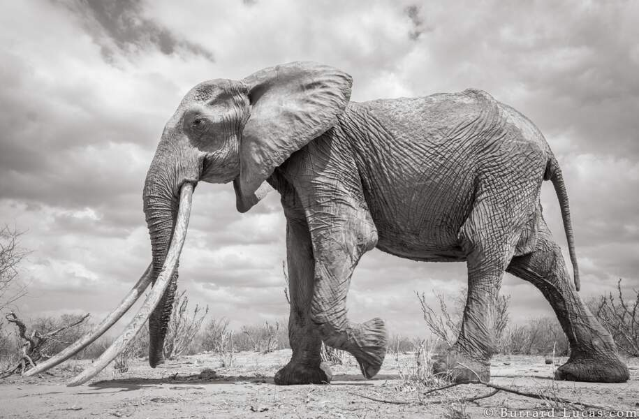 """Des """"big tuskers"""" durement frappés par les braconniers"""