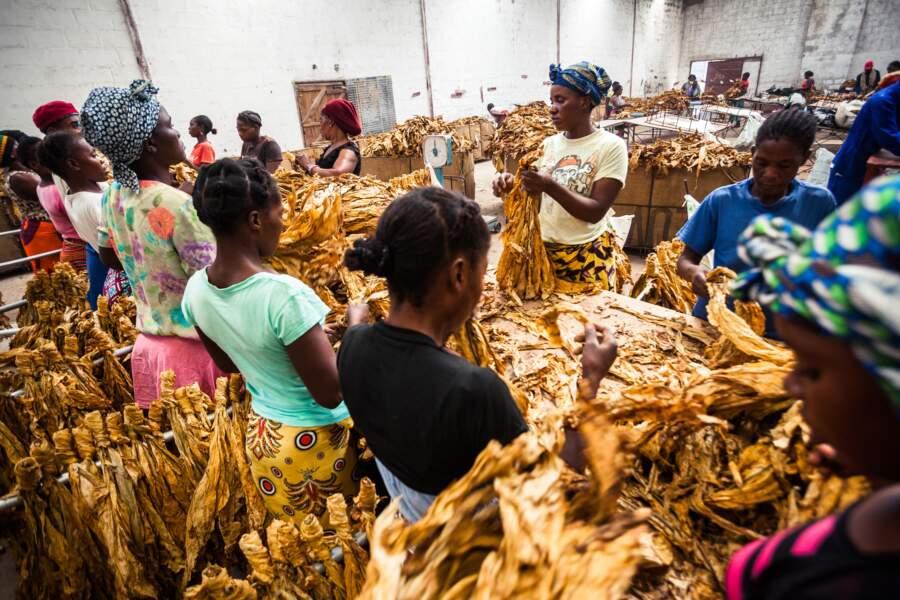 Du blé, du tabac et des bananes sur 158 hectares