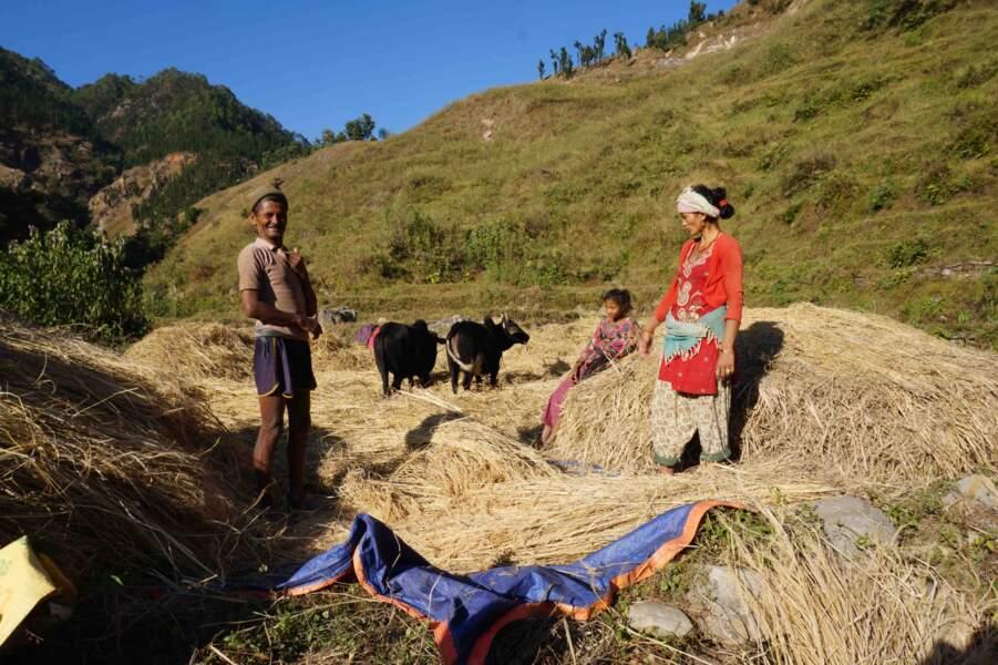 Couper du blé dans la montagne
