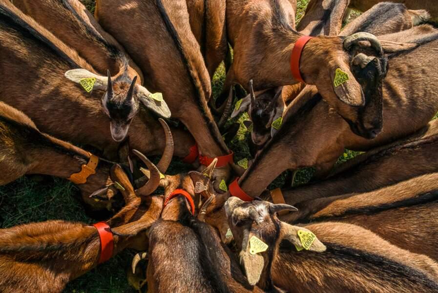 Ces ravissantes tondeuses à cornes ont un don pour sélectionner les pires espèces invasives