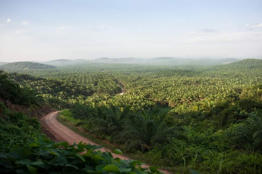 Monoculture de palmiers à huile