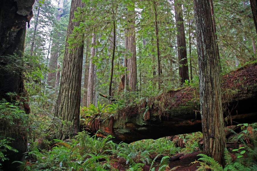 Le parc national de redwood