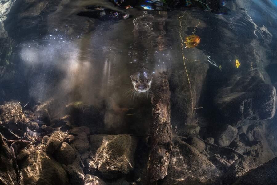 Loutre cendrée / Palawan, Philippines