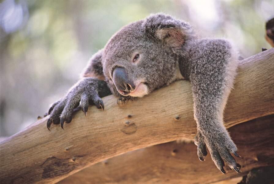 Le koala, lui aussi, dort 14 heures par jour. Mais en captivité, il peut dormir jusqu'à 22 heures !