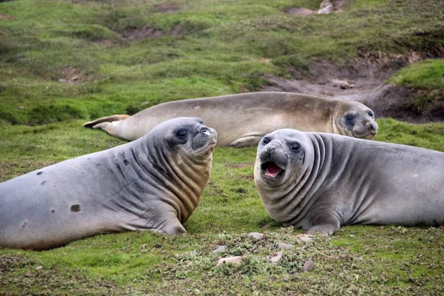 Trio d'élephants de mer aux Kerguelen