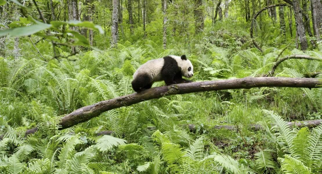 Panda du Sichuan, en Chine