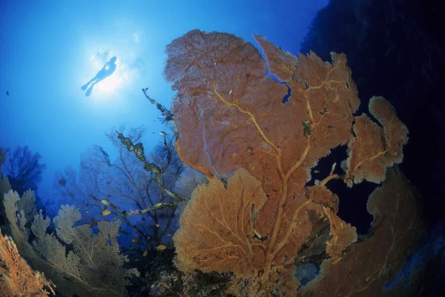 Gorgones dans les fonds marins de l'atoll d'Aldabra
