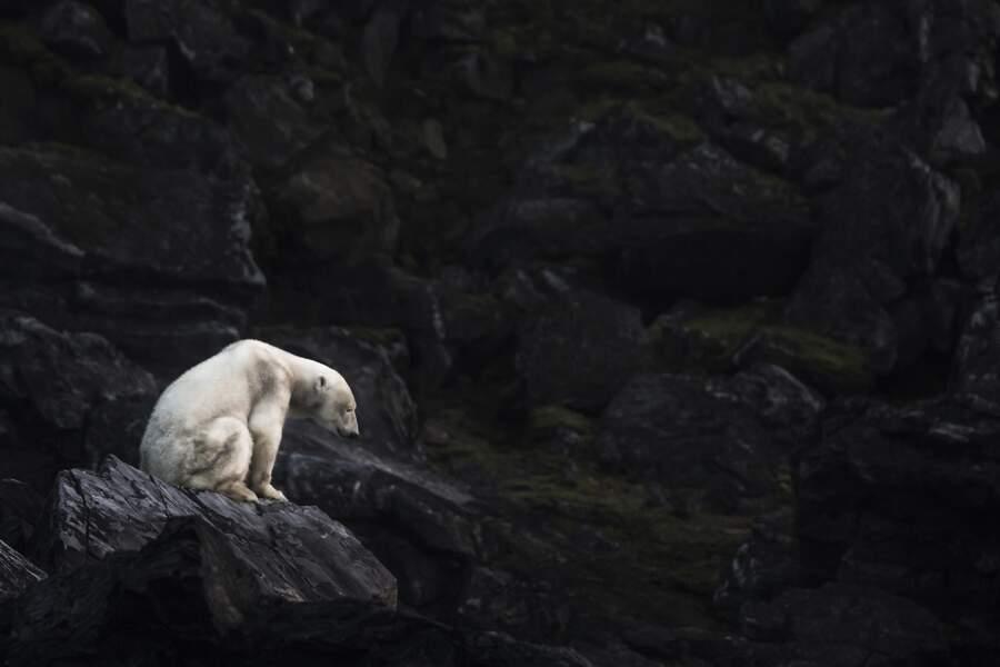 Ours polaire famélique (Ursus maritimus) sur l'île de Karl XII / Svalbard, Norvège