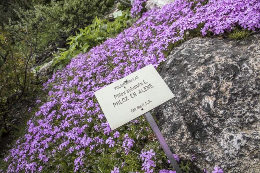 Phlox subulata, aussi appeléPhlox mousse, est originaire d'Amérique du Nord