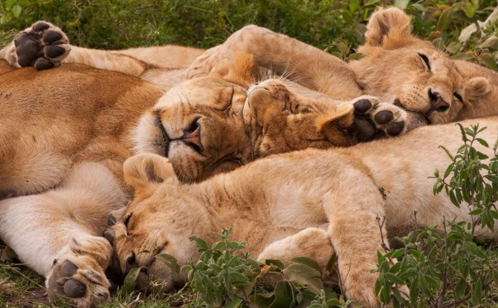 Pour les lions, c'est 14 heures de sommeil quotidien