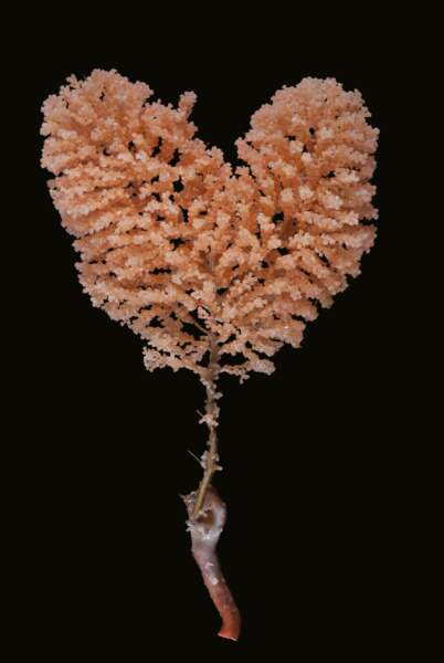 Corail abyssal