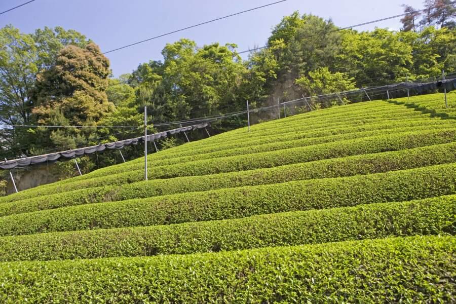 Uji, un subtil parfum de thé vert