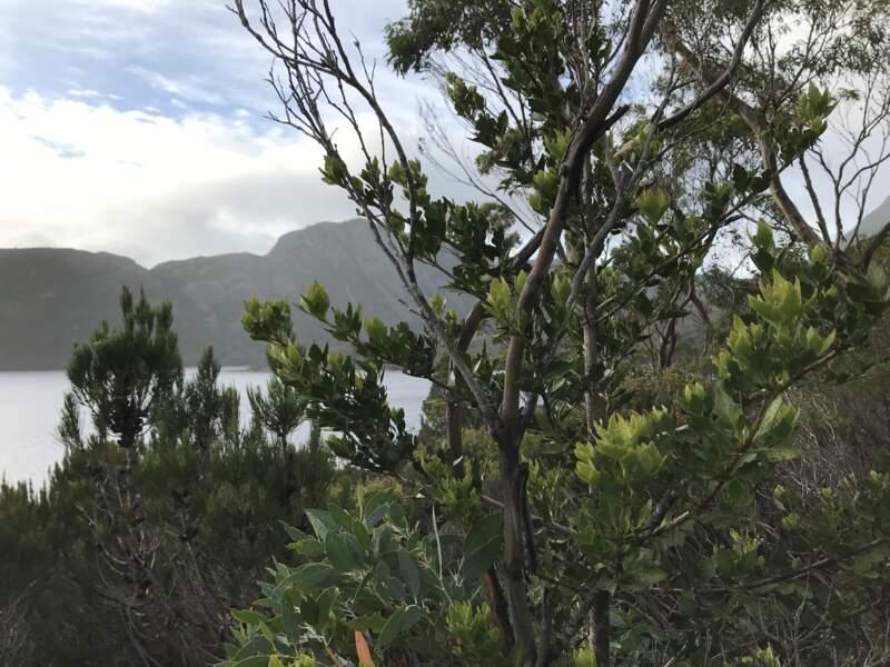 Pin céleri (Phyllocladus aspleniifolius), arbre endémique de Tasmanie