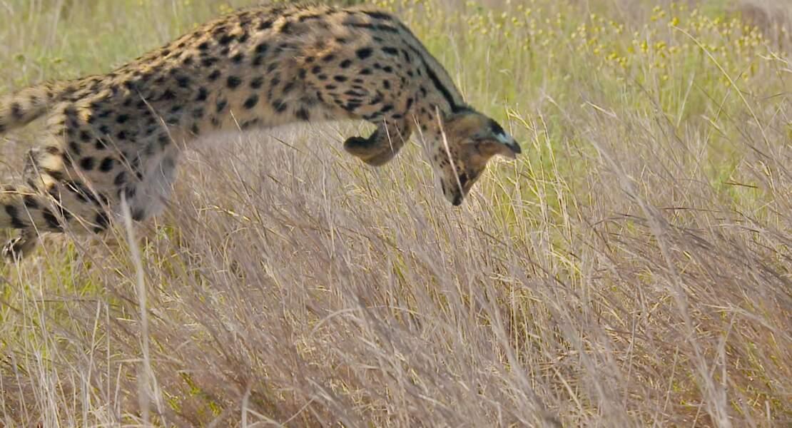 Derval bondissant à travers les herbes hautes, en Afrique australe