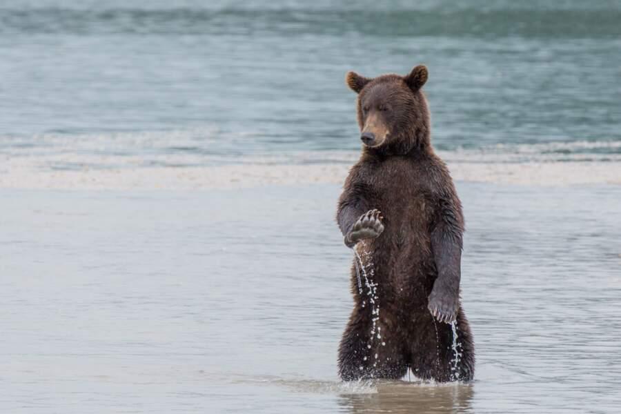 Serein, l'ours brun (Kamchatka, Russie)