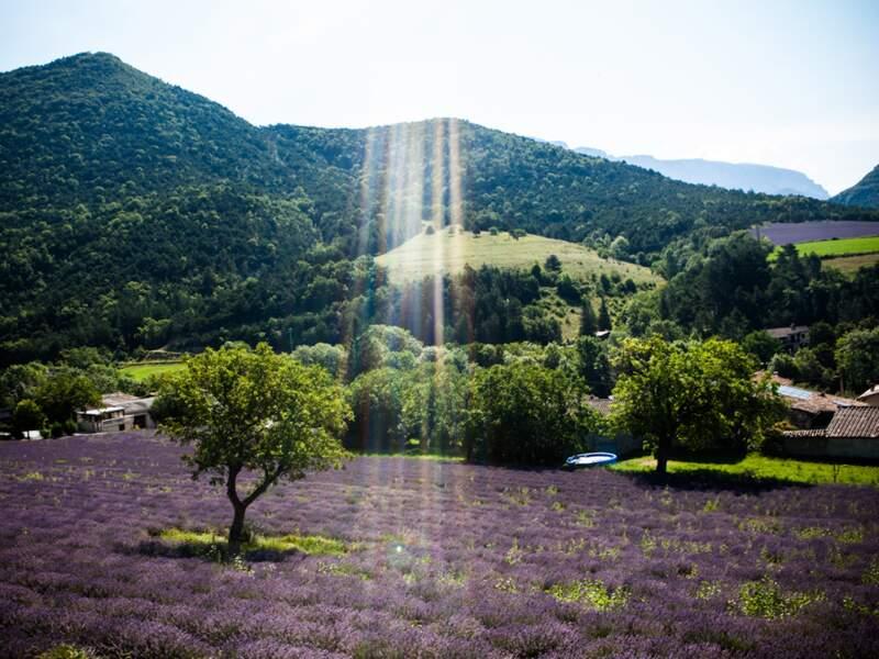 Tapis de lavande dans les Alpes-de-Haute-Provence