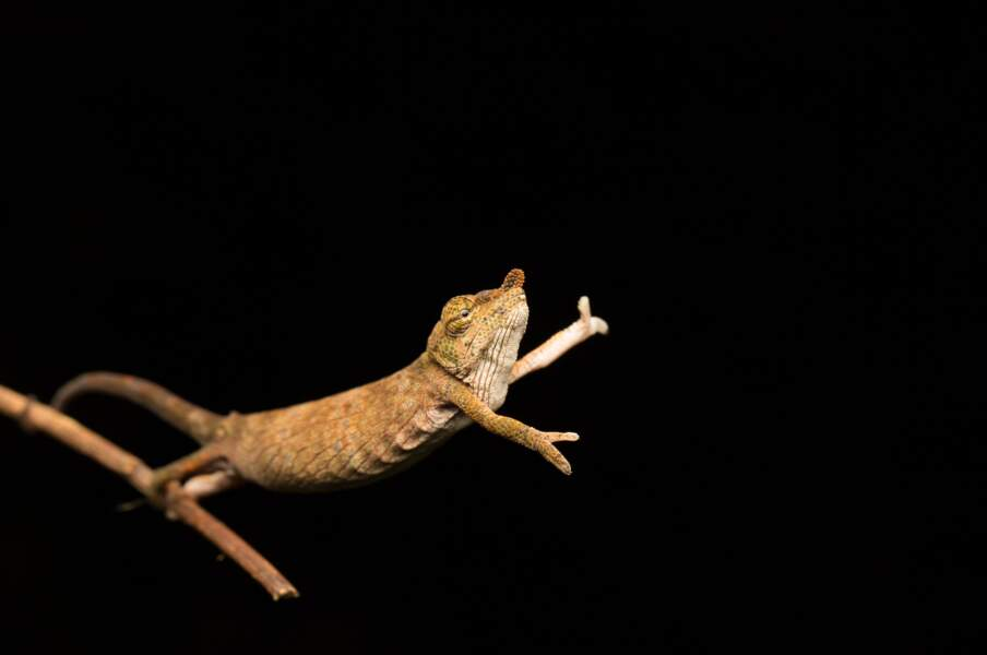 Le saut du caméléon (calumma nasutum, Andasibe, Madagascar)