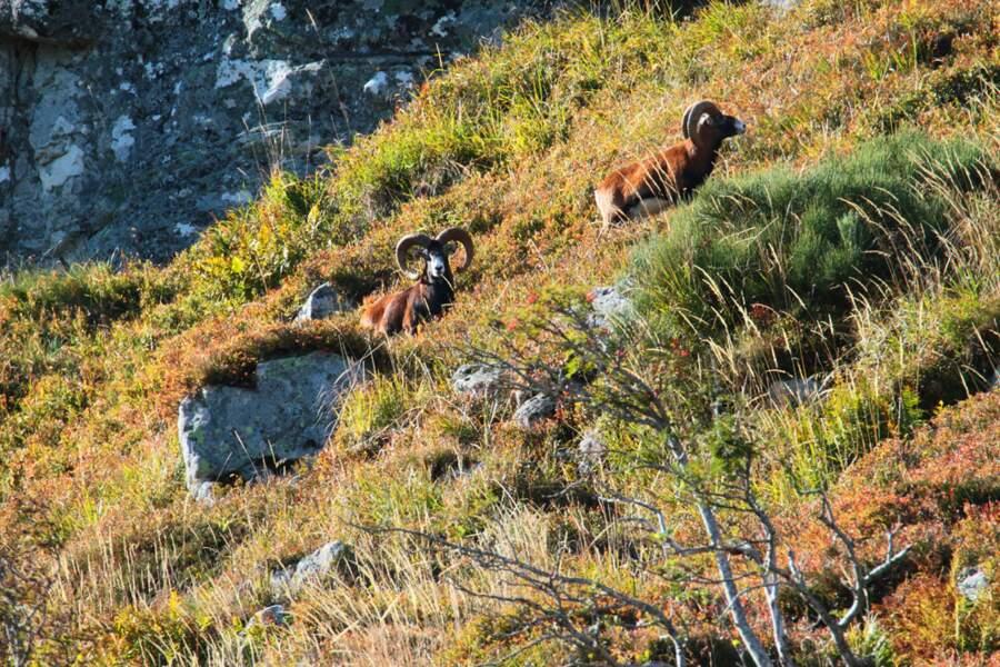 Mouflons du Cantal