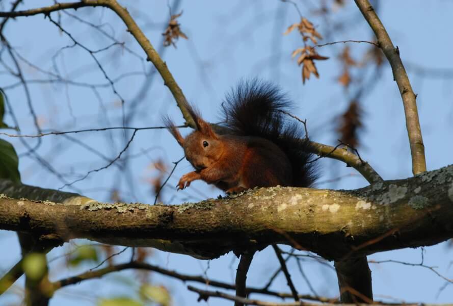 Pelage de l'écureuil aux couleurs automnales
