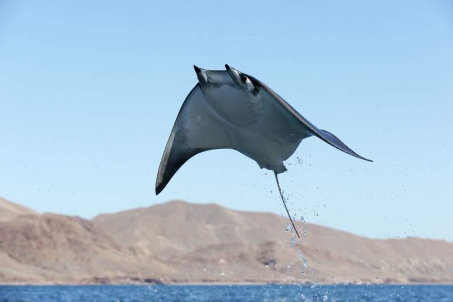 Mer de Cortés, Mexique : l'art de saisir la bête au bond