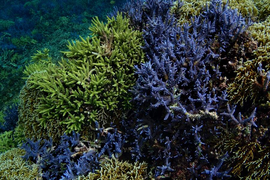Des fonds sous-marins riches de rares coraux
