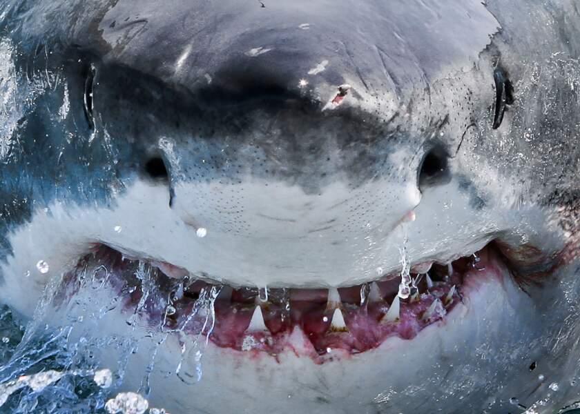 Atlantique, Afrique du sud : le grand blanc montre ses dents