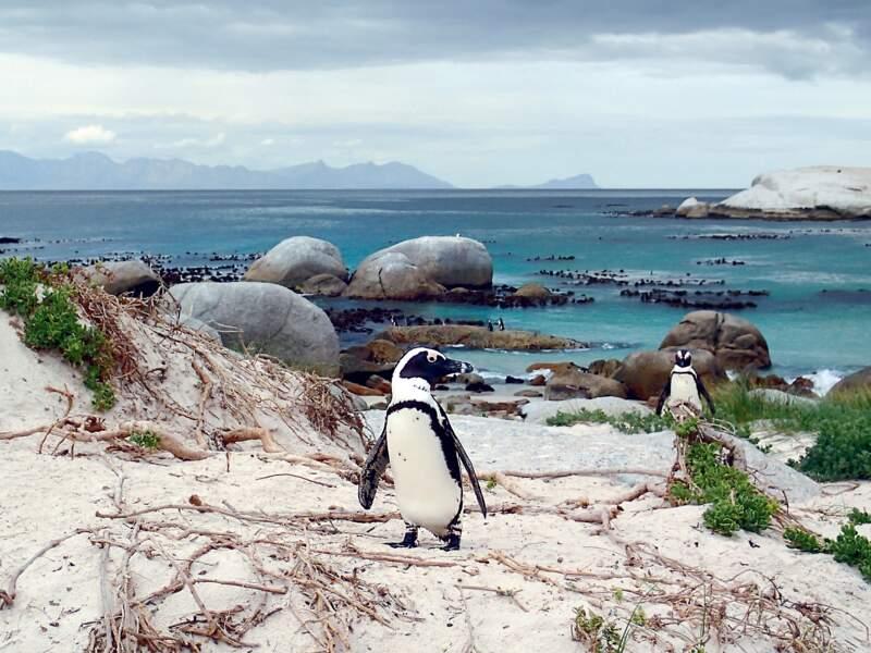 Manchots du Cap à Boulders Beach, sur la côte sud-africaine