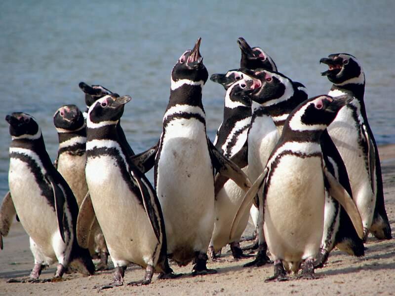 Manchots de Magellan dans l'archipel des îles Malouines