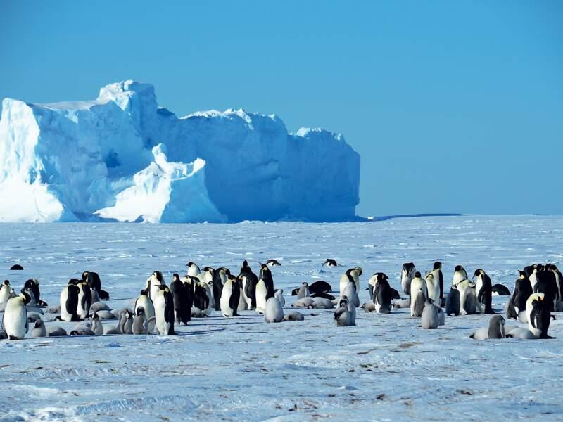 Colonie de manchots empereurs sur la banquise antarctique