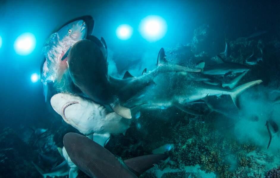 Frénésie de requins dans les profondeurs