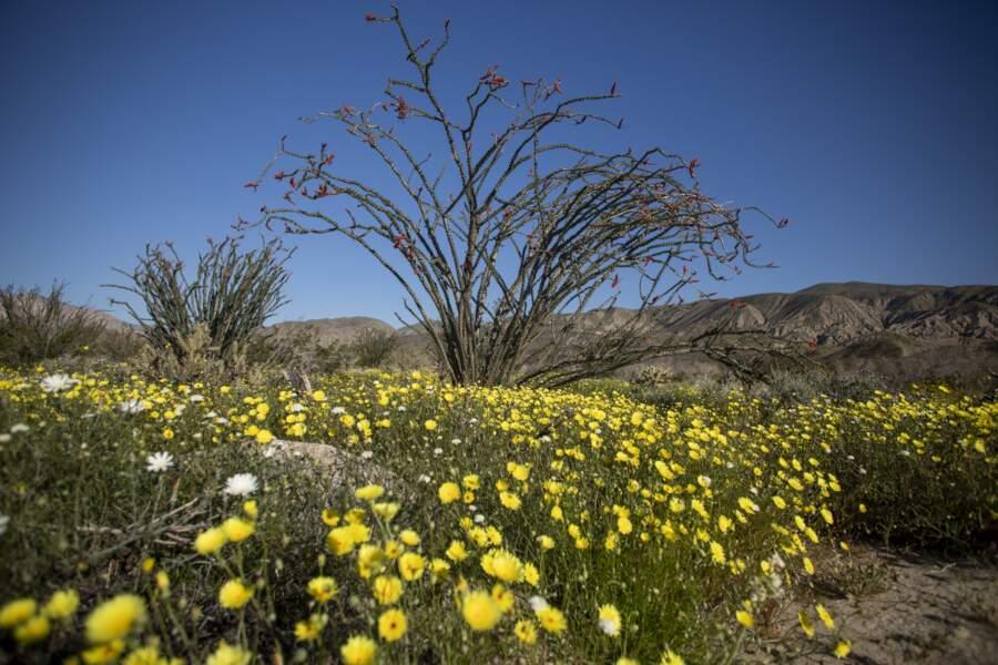 Super floraison dans le sud de la Californie