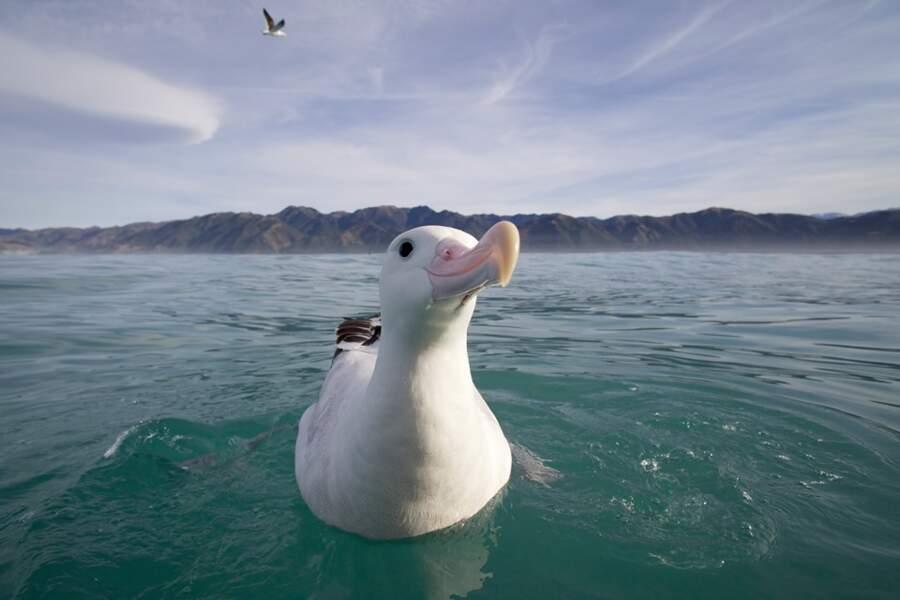 L'Albatros hurleur