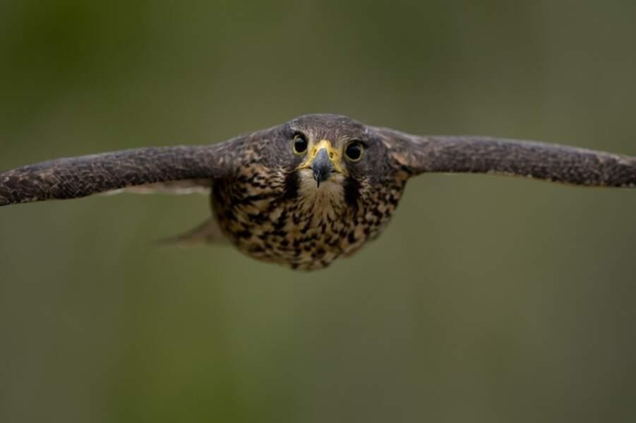 Le Faucon de Nouvelle-Zélande