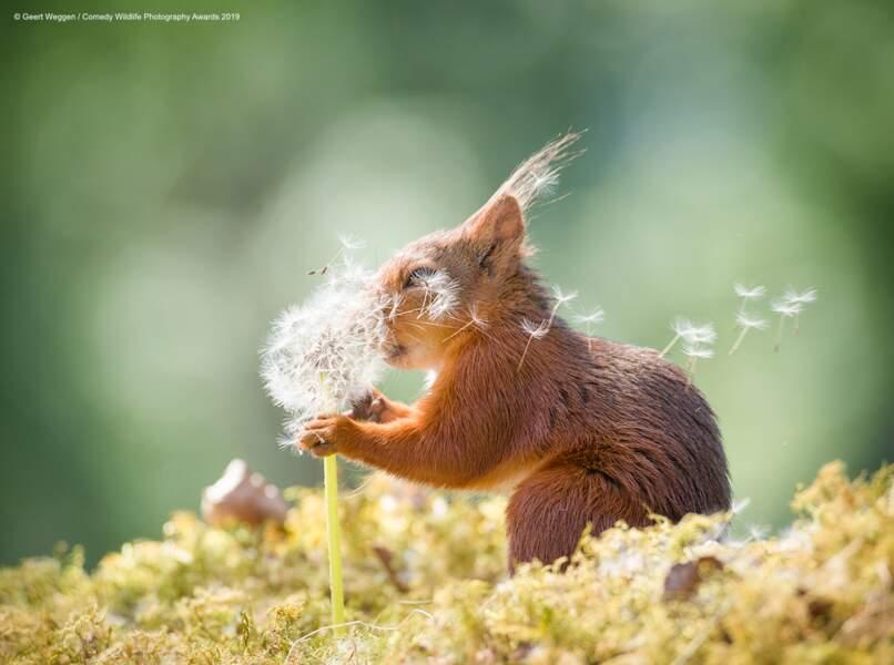 Ecureuil roux, Suède (félicitations du jury)