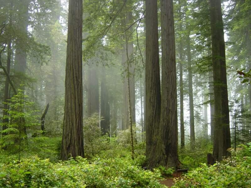 Parc national de Redwood, Californie : la forêt des Ewoks sur la lune d'Endor (épisode VI)