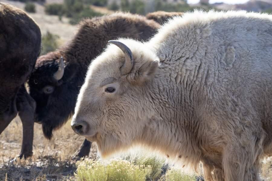 Bison blanc, blanc bison