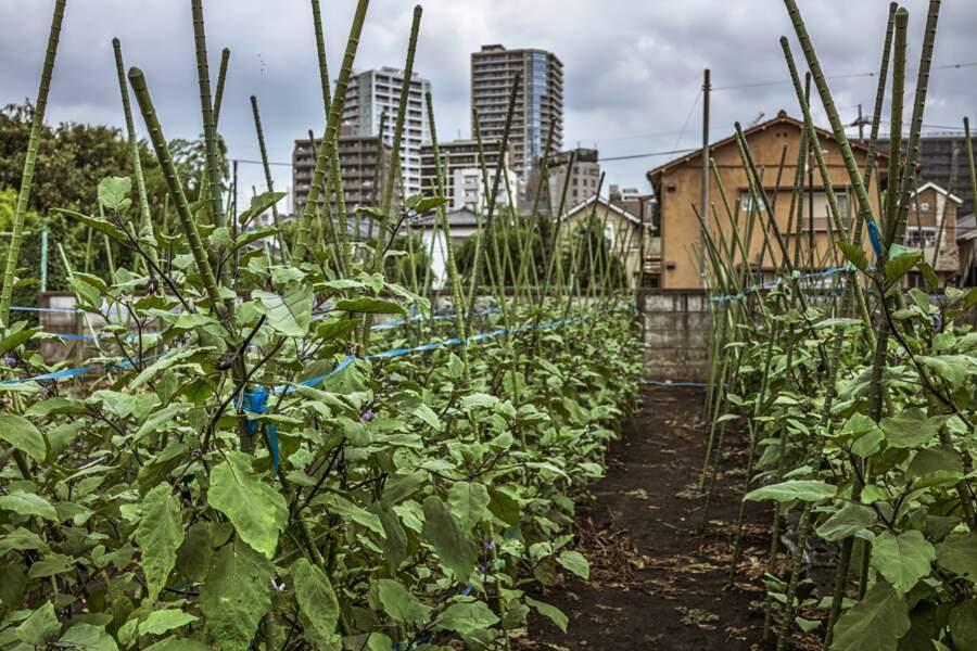 A Mitaka, des plants d'aubergine, au pied des immeubles
