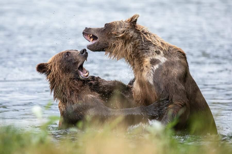 Grizzly par Nicolas Dory