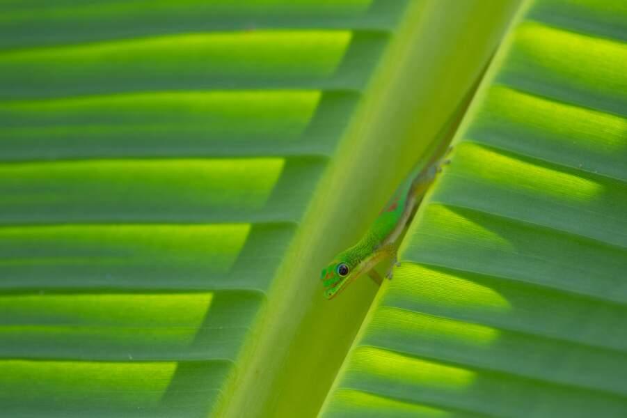 Gecko par Régis Cavignaux