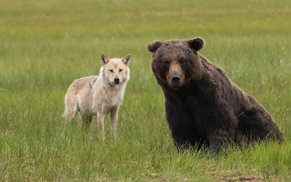 Loup gris et ours brun par Jérôme Guillomaut
