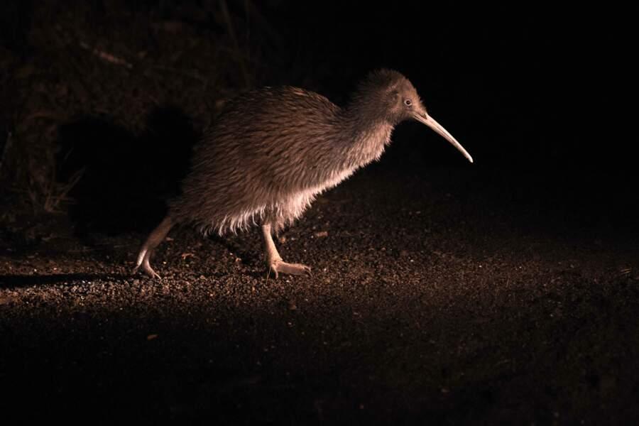 Kiwi austral par Lucas Mugnier