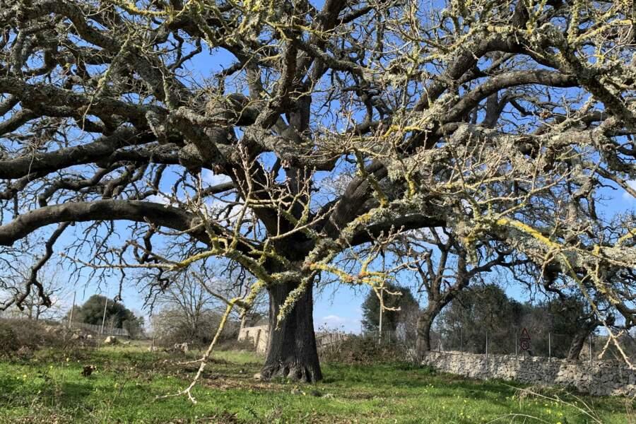 Italie : le chêne velani de Tricase