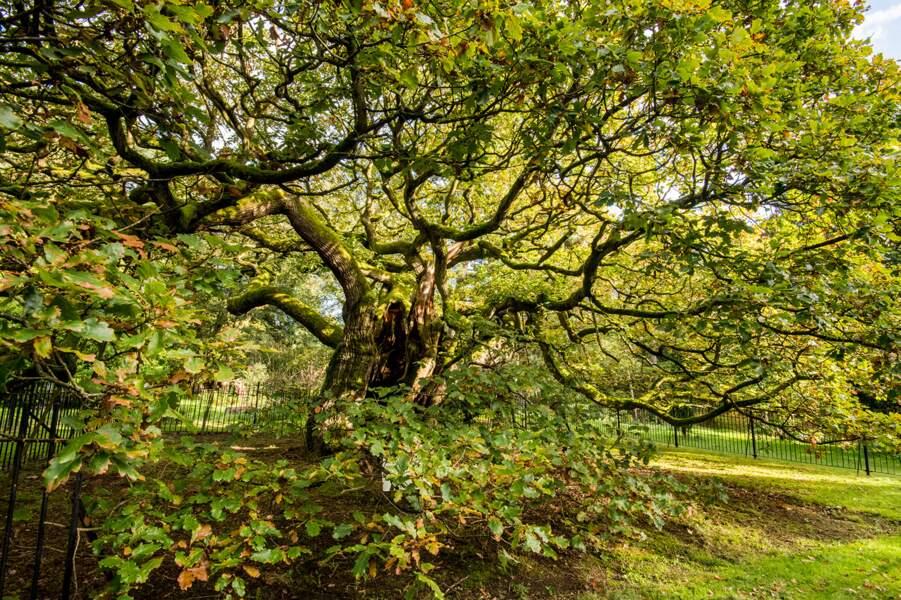Royaume-Uni : le chêne d'Allerton